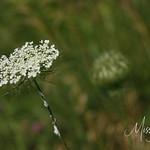 Signal Mountain Flowers_06 25 10_0021