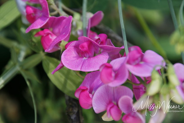 Signal Mountain Flowers_06 25 10_0015