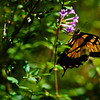 yellow swallowtail butterfly (Papilio glaucus) on purple flowers