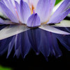 low angle water lily reflection