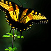 yellow swallowtail butterfly (Papilio glaucus)