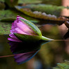 water lily, profile reflection