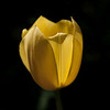 yellow on black, tulip in bloom