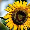 sunflower<br /> <br /> This photograph was freshly processed from the original DNG file in Photoshop Lightroom 4 and Photoshop Elements 10. I'm just at the beginning to learn how to tweak my workflow with Lightroom 4. My early impressions are positive. It definitely gave this image a new life.