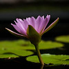 water lily, pink solitaire