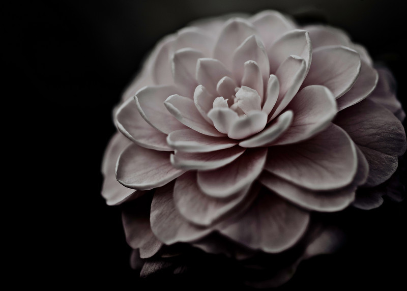 amongst the petals, soft pink camellia