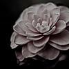 amongst the petals, soft pink camellia