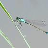 Blue-tailed Damselfly, Ischnura elegans 4149