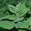 Green Alkanet, Pentaglottis sempervirens 1616