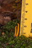 Yellow Stagshorn, Calocera viscosa 9584