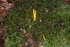 Yellow Stagshorn, Calocera viscosa 9559