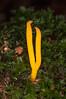 Yellow Stagshorn, Calocera viscosa 9563