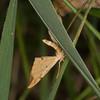 Barred Straw, Eulithis pyraliata 1121