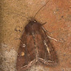 Bright-line Brown-eye, Lacanobia oleracea 1535