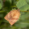 Carnation Tortrix, Cacoecimorpha pronubana micromothid 7250
