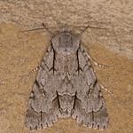 Dagger species, Acronicta species 1996