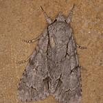 Dagger species, Acronicta species 1619