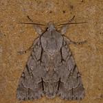 Dagger species, Acronicta species 1995