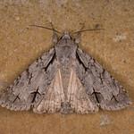 Dagger species, Acronicta species 2538