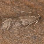 Ephestia species 1727