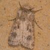 Heart and Club, Agrotis clavis Littlehamptonmoth 1205