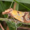 Knapweed Conch, Agapeta zoegana 9992