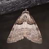 Short-cloaked Moth, Nola cucullatella Littlehamptonmoth 1261
