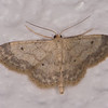 Small Fan-footed Wave, Idaea biselata 1450