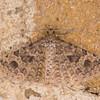 Twenty-plume Moth, Alucita hexadactyla 5727