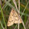 Yellow Belle, Semiaspilates ochrearia 4342