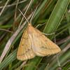 Yellow Belle, Semiaspilates ochrearia 4349
