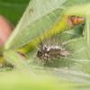 Yellow-tail, shed larval skin, Euproctis similis 1215
