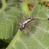 Yellow-tail, shed larval skin, Euproctis similis 1211