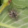 Yellow-tail, shed larval skin, Euproctis similis 1213