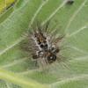 Yellow-tail, shed larval skin, Euproctis similis 1208