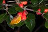 Himalayan Cotoneaster, Cotoneaster simonsii 1088