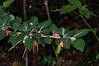 Himalayan Cotoneaster, Cotoneaster simonsii 1087