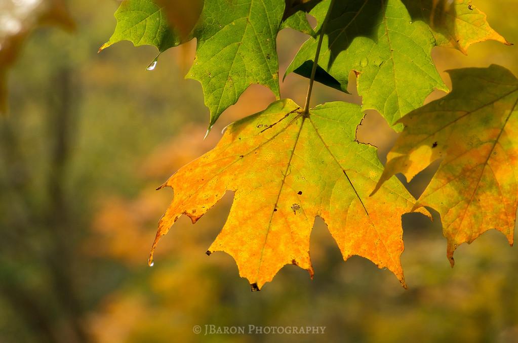 Fall Foliage and Raindrops