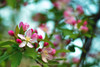 A Blooming Crabapple Tree