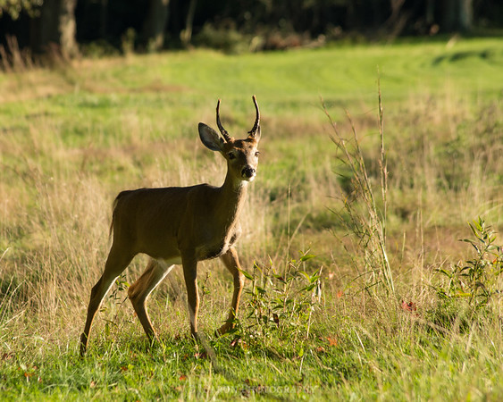 Young Deer Walking Through a Field