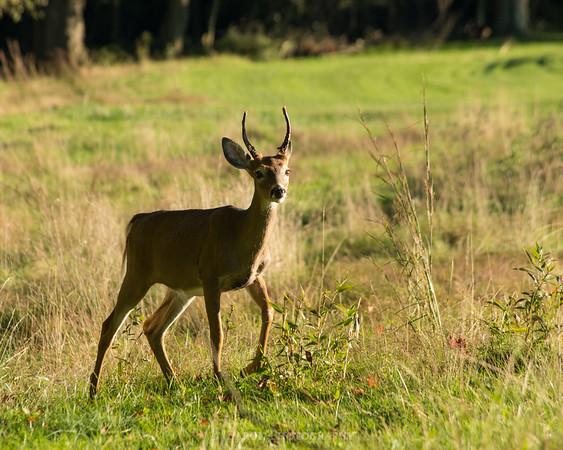 Young Deer Walking Through a Field