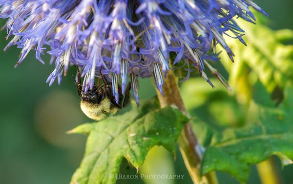 Bumblebee Under a Flower