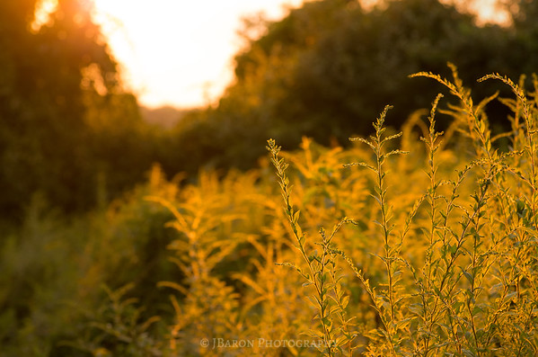 Goldenrod Field to an Open Sky at Sunset