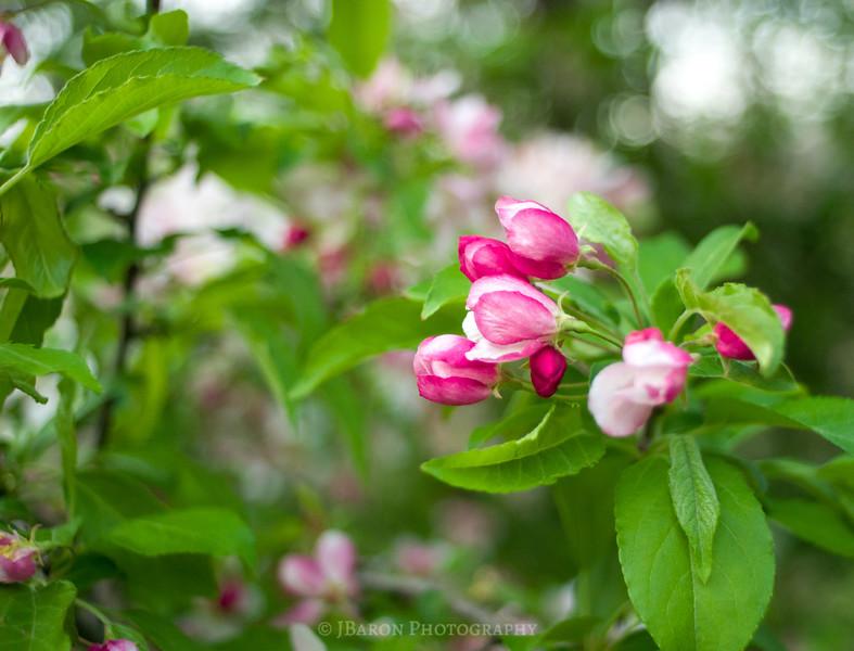Pink Blossoms at Beechwood Farms 0067