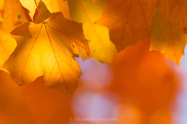 Glowing Orange Foliage II