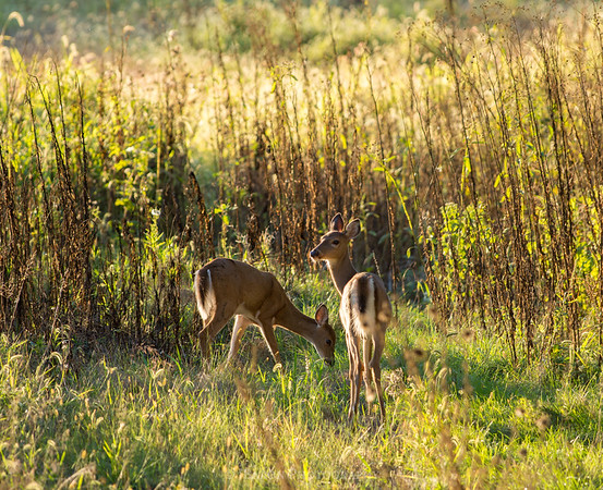 Two White-Tailed Deer on a Late Summer Day