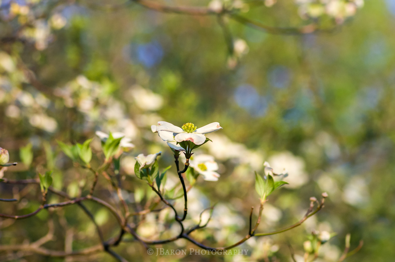 Dogwood Blooms at Beechwood Farms