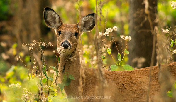 Deer at North Park III