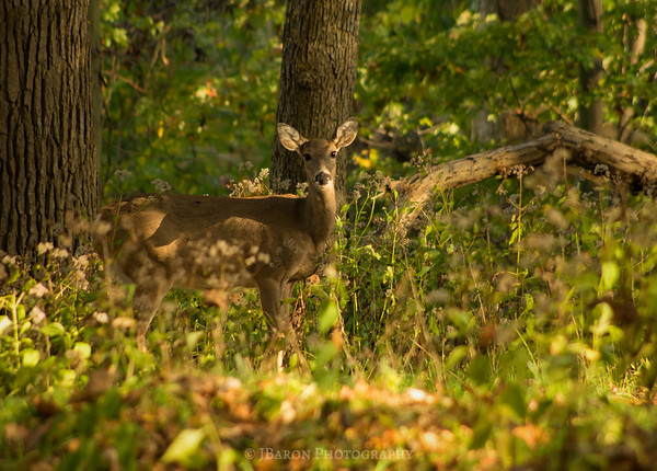 Deer at North Park