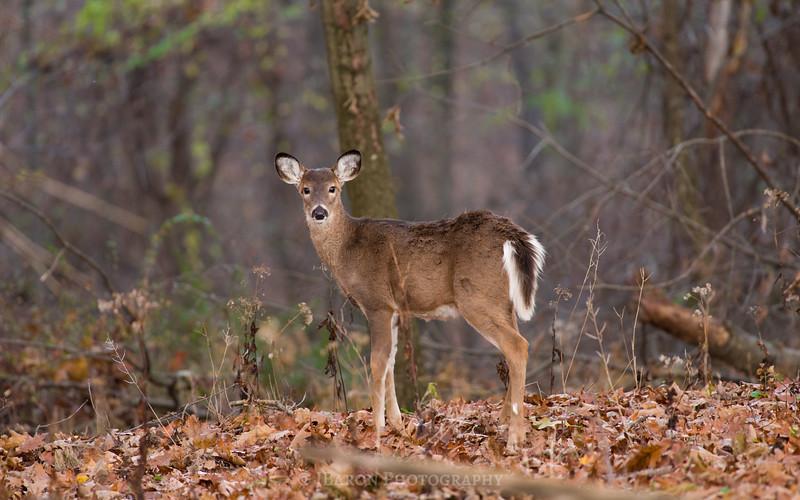 Deer at North Park 5605